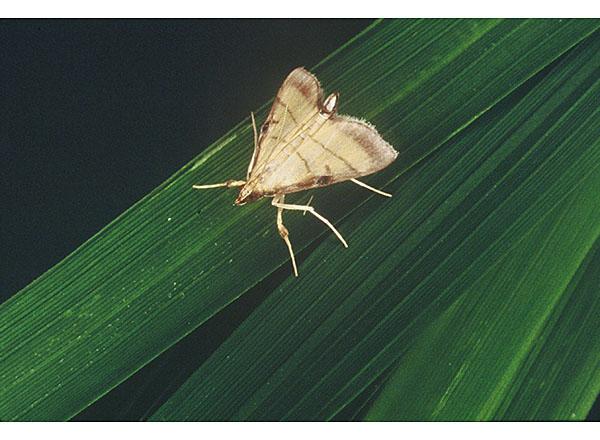 害虫 稲 の