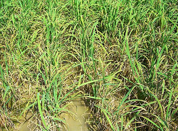 稲 の 病気